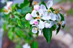 Frutteto di melo della montagna di Santa Cruz California Immagini Stock Libere da Diritti
