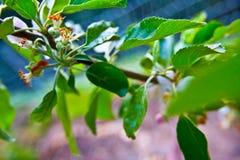 Frutteto di melo della montagna di Santa Cruz California Fotografia Stock Libera da Diritti