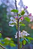 Frutteto di melo della montagna di Santa Cruz California Fotografia Stock