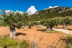 Frutteto di Olive Tree su Mallorca Fotografia Stock Libera da Diritti