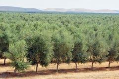 Frutteto di olivo Immagini Stock