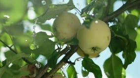 Frutteto di Pple La frutta sull'albero Di melo video d archivio