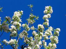 Frutteto in fioritura sotto un cielo blu profondo Immagini Stock