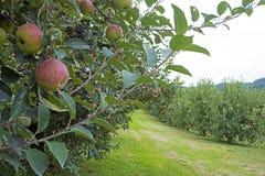 Frutteto o mele rosse che appende su un albero Fotografia Stock