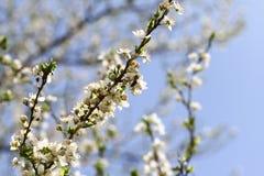Frutteto sbocciante in primavera Albero di fioritura del frutteto della prugna con un'ape Priorità bassa della sorgente Frutteto  Immagine Stock