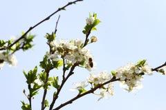 Frutteto sbocciante in primavera Albero di fioritura del frutteto della prugna con un'ape Priorità bassa della sorgente Frutteto  Fotografia Stock Libera da Diritti