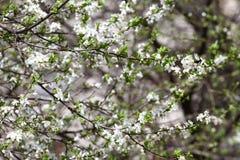 Frutteto sbocciante in primavera Albero di fioritura del frutteto della prugna su un fondo del cielo blu Priorità bassa della sor Immagini Stock