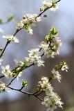 Frutteto sbocciante in primavera Albero di fioritura del frutteto della prugna su un fondo del cielo blu Priorità bassa della sor Immagine Stock Libera da Diritti