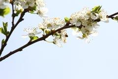 Frutteto sbocciante in primavera Albero di fioritura del frutteto della prugna su un fondo del cielo blu Priorità bassa della sor Fotografie Stock