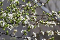 Frutteto sbocciante in primavera Albero di fioritura del frutteto della prugna su un fondo del cielo blu Priorità bassa della sor Immagini Stock Libere da Diritti