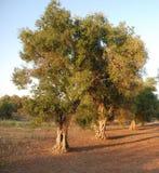 Frutteto verde oliva, Puglia Fotografie Stock Libere da Diritti