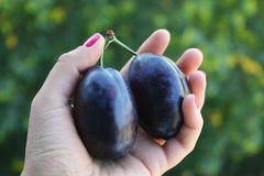 Frutti blu scuri succosi delle prugne in mani Immagini Stock Libere da Diritti