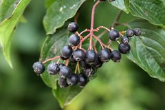 Frutti comuni del corniolo Fotografia Stock