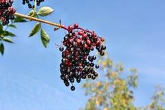 Frutti crescenti della bacca di sambuco Fotografie Stock