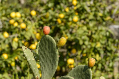 Frutti dei fichi d'India, Portovenere immagine stock libera da diritti