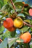 Frutti del cachi Fotografie Stock