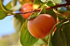 Frutti del cachi Fotografia Stock Libera da Diritti