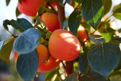 Frutti del cachi nell'agricoltura del campo degli alberi Fotografia Stock