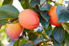 Frutti del cachi nell'agricoltura del campo degli alberi Fotografia Stock Libera da Diritti