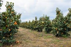 Frutti del cachi sugli alberi Fotografia Stock Libera da Diritti