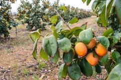 Frutti del cachi sugli alberi Immagine Stock