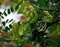 Frutti del carrubo Fotografia Stock Libera da Diritti