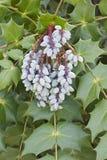 Frutti del crespino di Beale fotografia stock