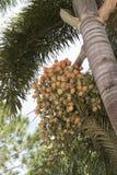 Frutti del cuscinetto della palma della coda di volpe Immagini Stock