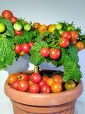 Frutti del pomodoro Fotografia Stock