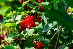 Frutti del ribes rosso Fotografie Stock