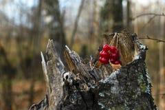 Frutti del viburno sul ceppo della betulla fotografia stock libera da diritti