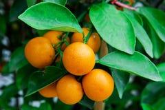 Frutti dell'arancio del ramo fotografie stock