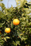 Frutti dell'arancio del ramo Fotografia Stock