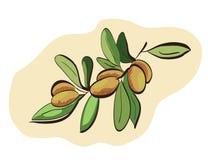 Frutti dell'argania spinosa sul ramo Immagini Stock