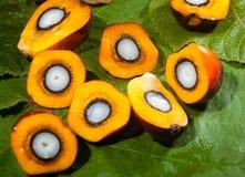 Frutti dell'olio di palma immagine stock libera da diritti