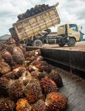 Frutti dell'olio di palma fotografie stock libere da diritti