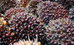 Frutti dell'olio di palma immagine stock