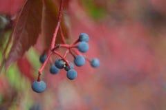 Frutti dell'uva decorativa immagine stock