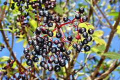 Frutti della bacca di sambuco Fotografia Stock Libera da Diritti