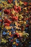 Frutti della cenere di montagna Immagini Stock Libere da Diritti