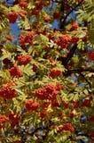 Frutti della cenere di montagna Fotografie Stock