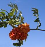 Frutti della cenere di montagna Fotografia Stock