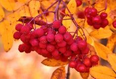 Frutti della cenere di montagna rossa Fotografia Stock Libera da Diritti