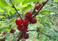 Frutti della ciliegia di Nanchino Immagini Stock Libere da Diritti