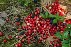 Frutti della foresta Immagine Stock Libera da Diritti