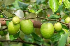 Frutti della giuggiola o mela della scimmia Fotografia Stock Libera da Diritti