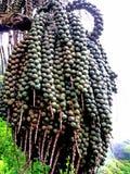 Frutti della palma Fotografia Stock Libera da Diritti