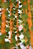 Frutti della palma Fotografia Stock