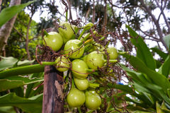 Frutti della palma Immagini Stock
