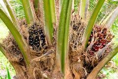 Frutti della palma da olio Immagini Stock Libere da Diritti